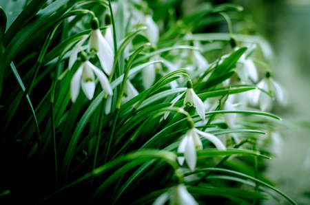 First spring flowers snow drops on a sunny field. Imagens