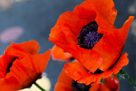 Beautiful red poppies. Red Flower symbol of war. remembrance day
