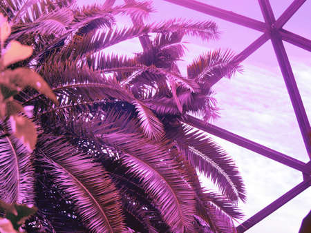 Tropical palm tree against greenhouse glass roof. Photo in vibrant gradient holographic ultraviolet colors. Concept pop art. Natural trendy photo