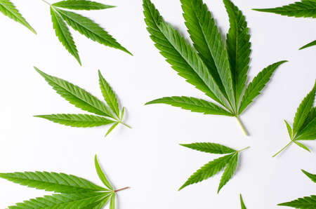 Cannabis Leaves on white background. Top view Imagens