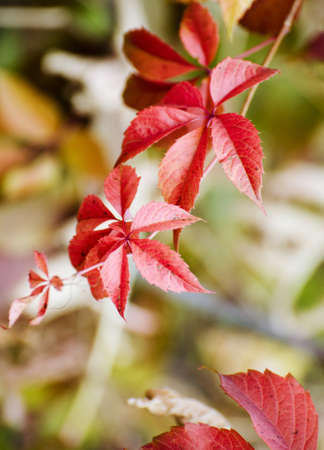 Wild red grape leaves. Beautiful bright fall background. Imagens