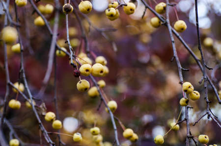 Autumn background with plenty yellow wild apples. Dark moody fall picture. Imagens