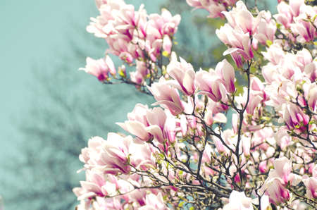 Beautiful magnolia tree blossoms in springtime. Bright magnolia flower against blue sky. Romantic floral backdrop Imagens