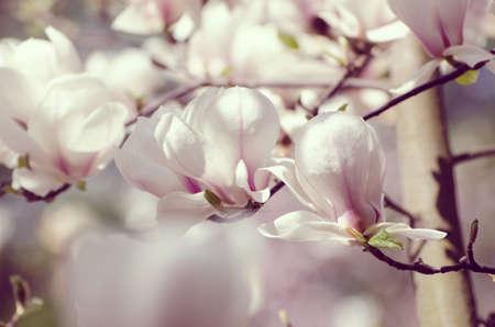 Beautiful magnolia tree blossoms in springtime. Jentle white magnolia flower against sunset light.