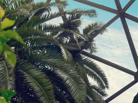 Tropical palm tree against greenhouse glass roof. Natural trendy photo.