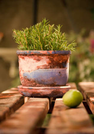 Fresh cutted Green Rosemary bush in a Rustic Style Pot. Gardening of aromatic herbs.
