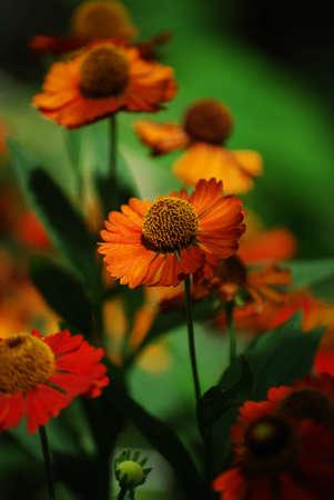 Close up photo of Rudbeckia hirta, yellow flower of orange coneflower. Imagens