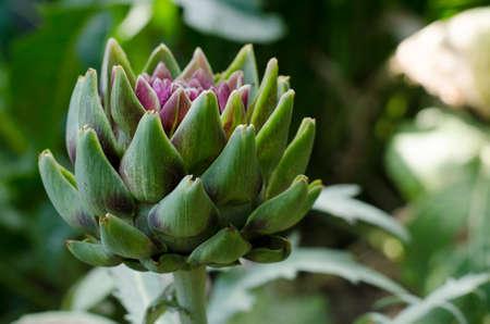 Fresh artichoke in garden. Healthy diet food ingredient. Imagens