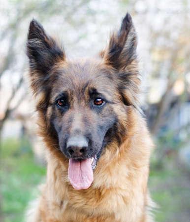 Portret owczarka niemieckiego. Zdjęcie głowy psa. Zdjęcie Seryjne
