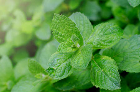 Fresh green peppermint grows in the garden. Peppermint leaves under dew drops. Spring botanical background.