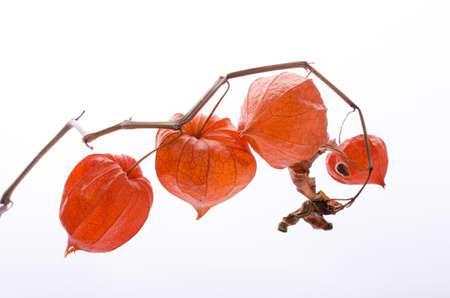 Dry Lampion, Dried branch of physalis lanterns. Stockfoto