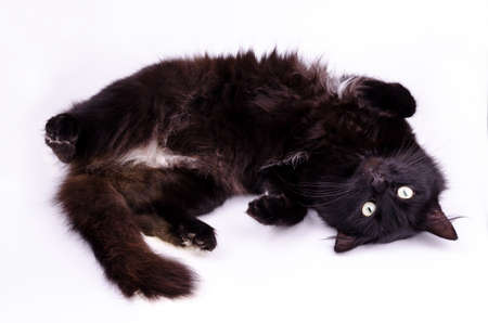 Portrait of a beautiful cute fluffy black cat lays upside down looks to camera.