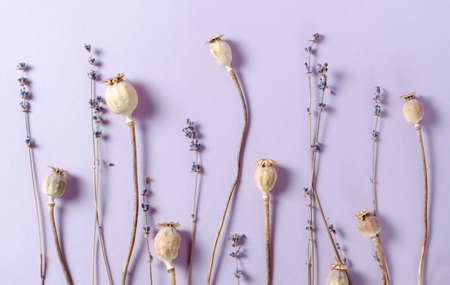 Dry poppy and lavender on a violet background. Top view pastel toned trendy picture.