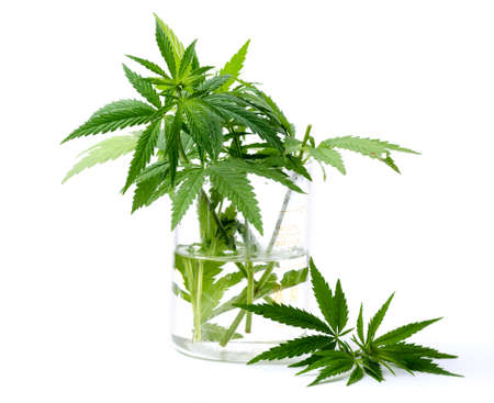 Cannabis plant leaves in the laboratory flask isolated on white background. Medicine or cosmetology theme background. Zdjęcie Seryjne