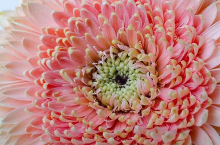 Closeup photo of pink gerbera flower. Macro photo of gerberas petals. Floral festive background.