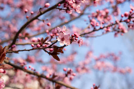 Abstract Background with Beautiful Pink Cherry Plum, Prunus Cerasifera Nigra, blooming in early spring. Decorative Landscape Design Tree.