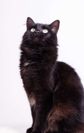 Profile portrait of beautiful cute fluffy black cat scratches with its hind paw on a white background.