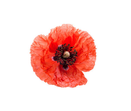 Beautiful red poppy isolated on white background.