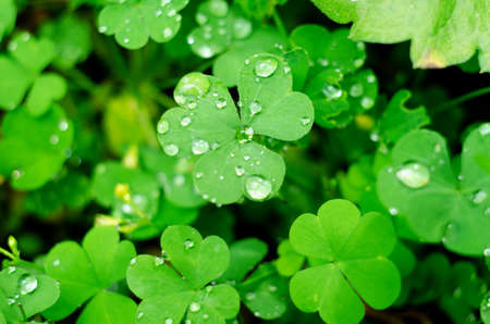Natural background with Shamrock clover under dew drops. Shamrock symbol of luck. St patrick's day background.