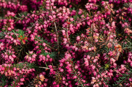 Beautiful purple heather cover in a Filled with of spring sunlight. Soft focused natural seasonal background