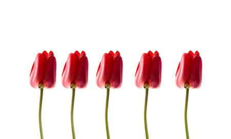 Red tulips isolated on white background. A row of ideal tulips. 免版税图像