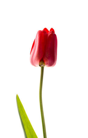 Ideal red Tulip isolated on white background.