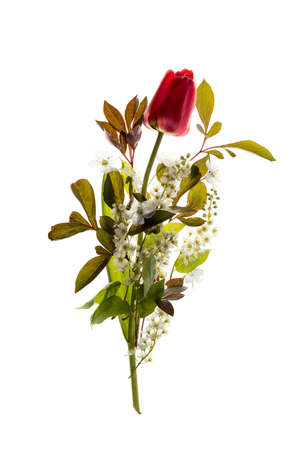 Red Tulip and bird-cherry tree flowers isolated on white background. Fresh spring bouquet composition.