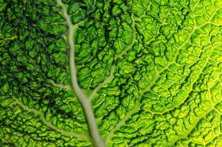 Close up savoy cabbage leaves. Patterned surface of green cabbage leaves.