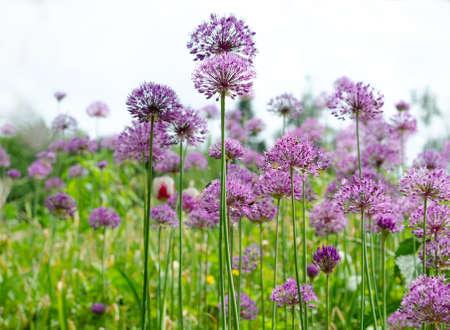 Purple allium lucy ball flowers field. Spring garden design with perennial plants.