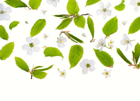 Young fresh green leaves and bird-cherry tree flowers against a white background. Beautiful spring seasonal background.
