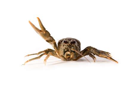 Crayfish live isolated on a white background. Raw crawfish. Fresh seafood snack.
