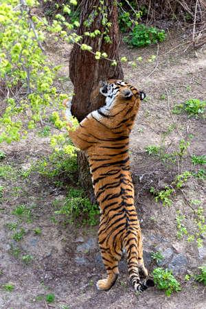 Big Tiger walking around. Symbol of 2022 Chinese new year
