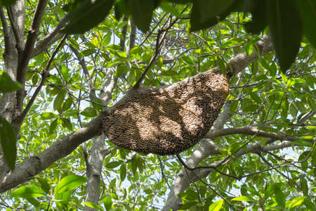gold capped: bees and honeycomb on a branch tree Stock Photo
