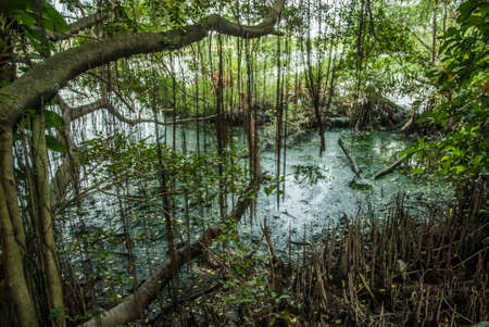 Mangrove forests in the estuary of Thailand in the summer