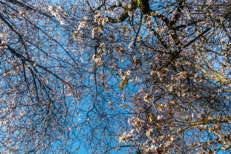 Spring cherry blossoms are full of trees, interspersed with blue sky. Beautiful, suitable for background images