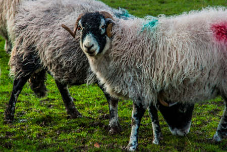 Portrait of cute sheep in herd looking at camera