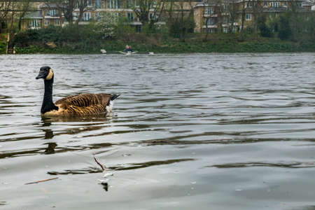 A Canada Goose swimming on the waters of the River Thames Near the Kew Railway, Bridge
