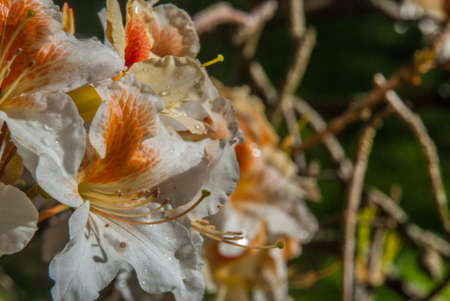 Azalea 'Palestrina', orange-white flowers that receive sunlight in the morning Banque d'images