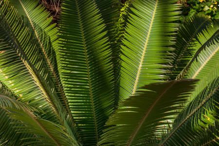 Teosinte palm (Dioon mejiae), multiple plants Suitable for making background images. 스톡 콘텐츠