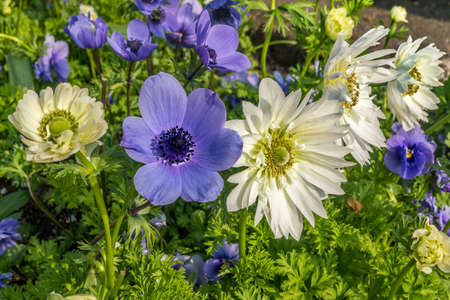 A group of strong African daisies, beautiful Osteospermum plants in the garden Suitable for making background images.