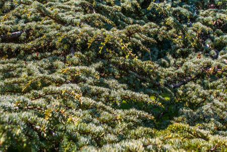 Atlas cedar (Cedrus atlantica). beautiful Suitable for making background images.