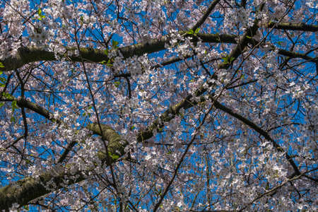Spring cherry blossoms are full of trees, interspersed with blue sky. Beautiful, suitable for background images. 写真素材
