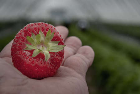 The strawberry in a man palm in a garden, Fresh organic strawberries organic from natural farms, safe from toxins, process yield Organic Strawberry Fresh, clean and hygienic. Organic food. Diet. Vitam