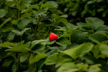 Bush of fresh red strawberry, Strawberry fruits in growth at garden, Process yield Organic Strawberry Fresh, clean and hygienic.