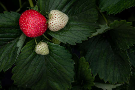 Bush of fresh red and white strawberry, Strawberry fruits in growth at garden, Process yield Organic Strawberry Fresh, clean and hygienic.