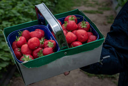 The box with ripe strawberries is set among the strawberry bushes, just ripe and tasty berries from the fields. Process yield Organic Strawberry Fresh, clean and hygienic. 写真素材