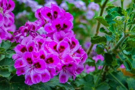 """Pelargonium graveolens plant with pink flowers """"Pink capricorn"""", Pelargonium capitatum, rose-scented pelargonium."""