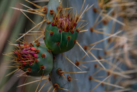 cactus, Opuntia ficus-indica is a species of cactus that has long been a domesticated crop plant important in agricultural economies throughout arid and semiarid parts of the world. Stock Photo