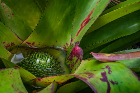 Close-up of flower of Neoregelia (king of kings) full bloom grown in a botanic garden.