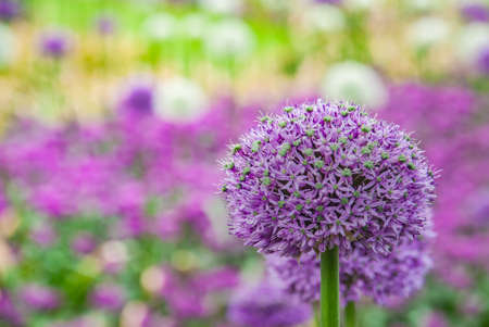 Spherical purple allium flowers. In the Green leaf background, Allium Gladiator is a spectacular giant Onion full bloom grown in a botanic garden.